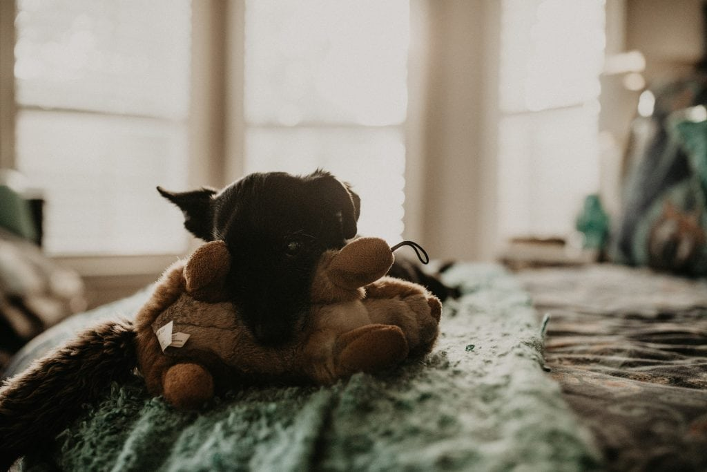 A small dog resting his head on his squirrel chew toy while lying on a bed in Austin, Texas. Photograph by Austin, Texas wedding photographer Nikk Nguyen.